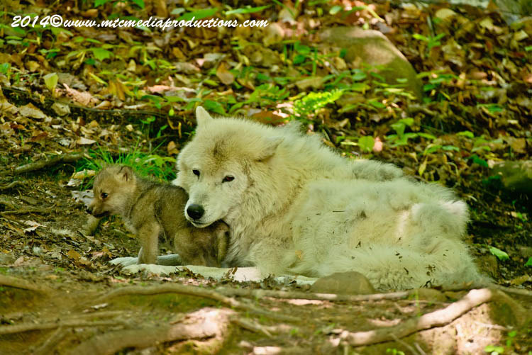 Arctic Wolf Picture-1163