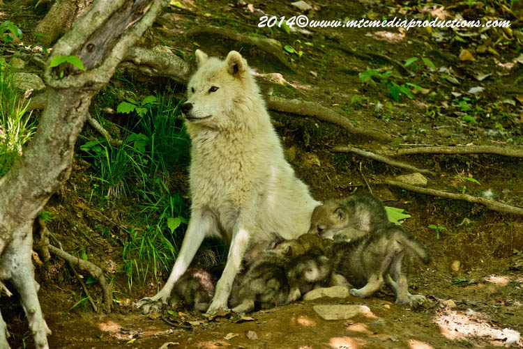Arctic Wolf Picture-1164