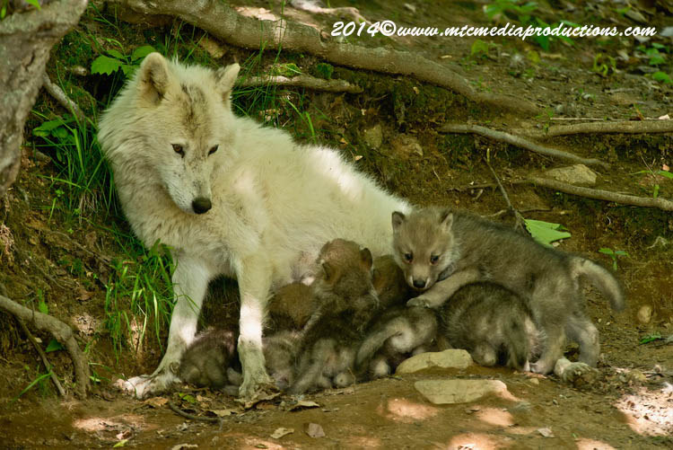 Arctic Wolf Picture-1165