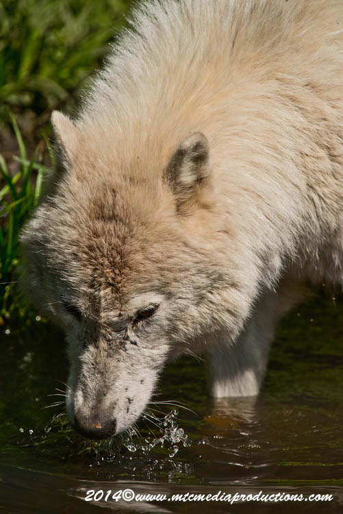 Arctic Wolf Picture-1166