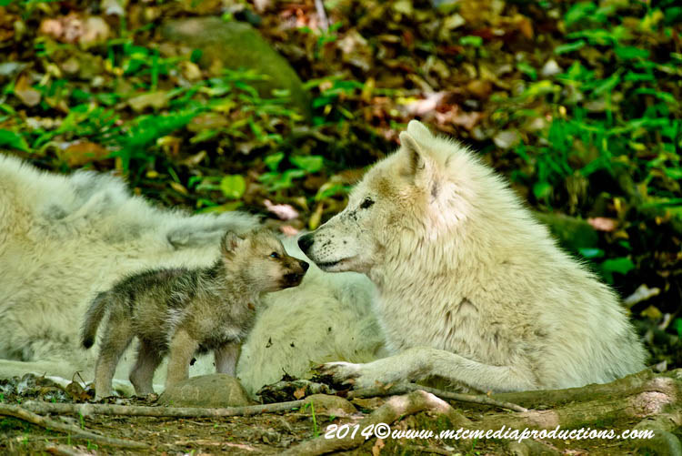 Arctic Wolf Picture-1170