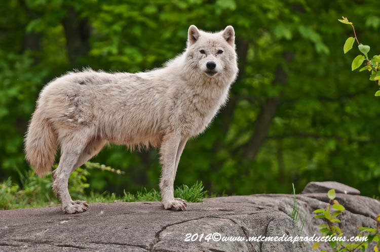 Arctic Wolf Picture-1171