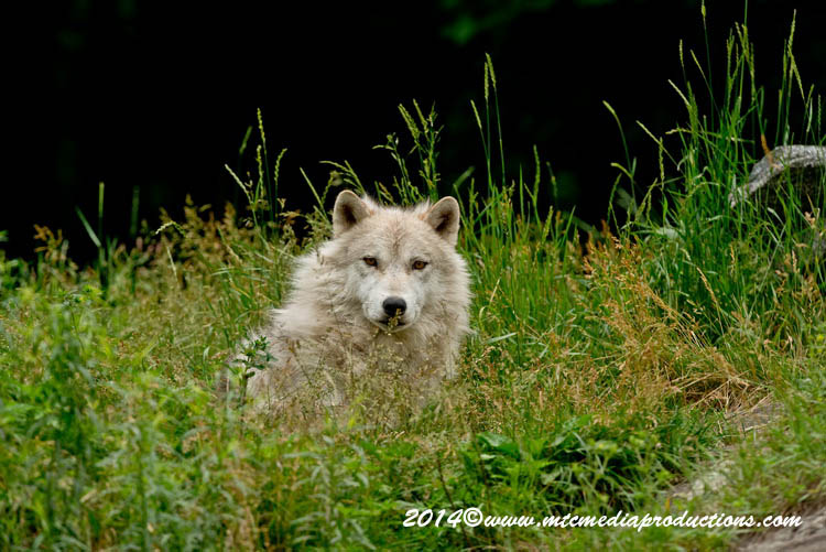 Arctic Wolf Picture-1172