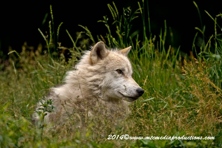 Arctic Wolf Picture-1173