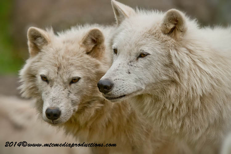 Arctic Wolf Picture-1174