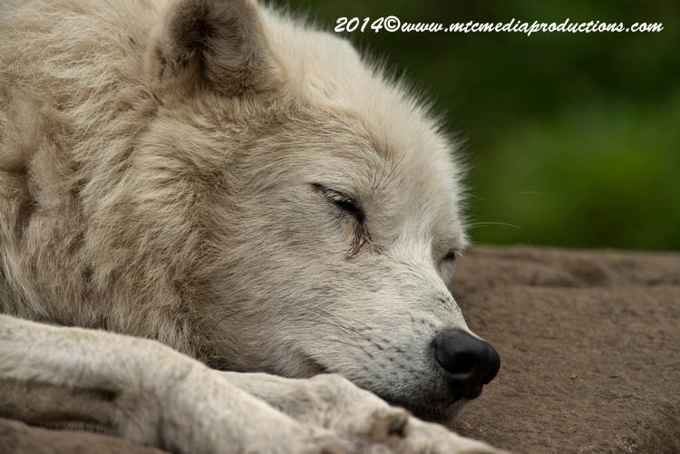 Arctic Wolf Picture-1175