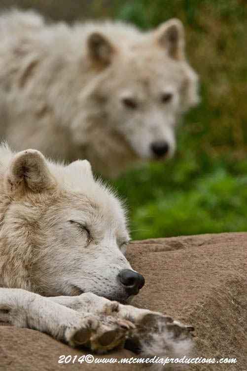Arctic Wolf Picture-1176