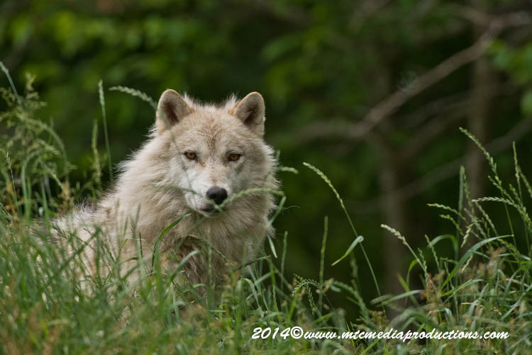 Arctic Wolf Picture-1177