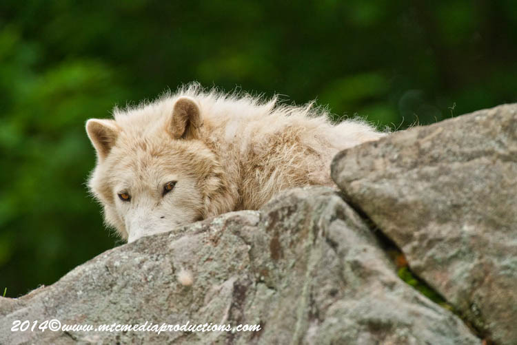 Arctic Wolf Picture-1178