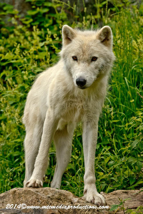 Arctic Wolf Picture-1179