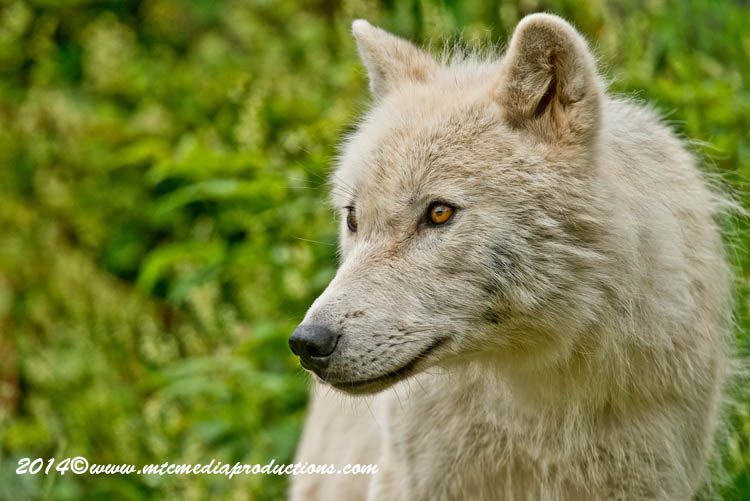 Arctic Wolf Picture-1180