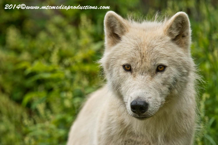 Arctic Wolf Picture-1181