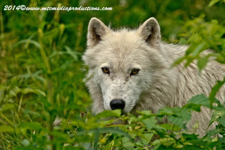 Arctic Wolf Picture-1182