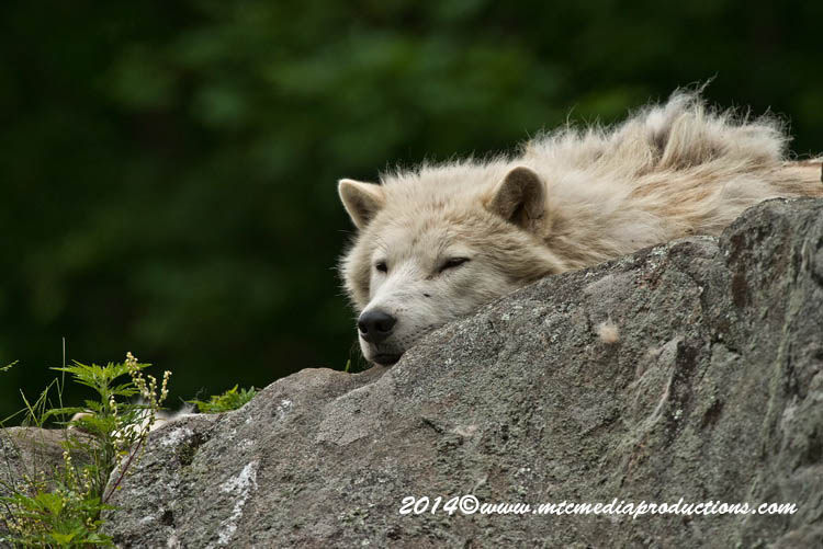 Arctic Wolf Picture-1183