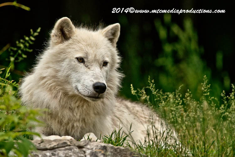 Arctic Wolf Picture-1184