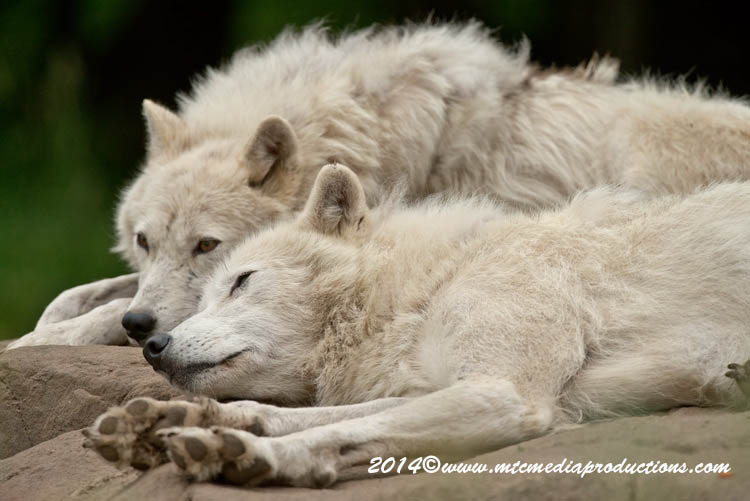 Arctic Wolf Picture-1185