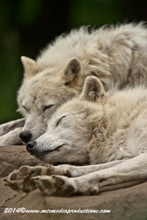 Arctic Wolf Picture-1186