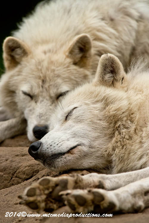 Arctic Wolf Picture-1187