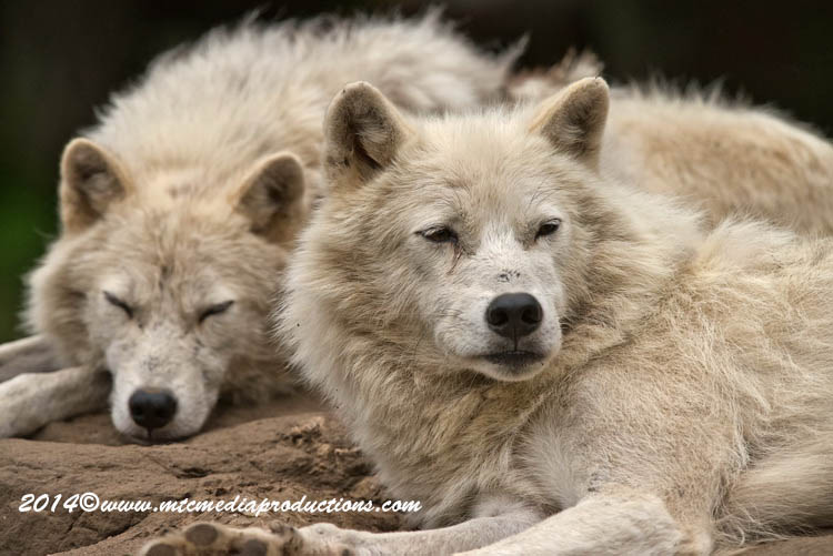 Arctic Wolf Picture-1188