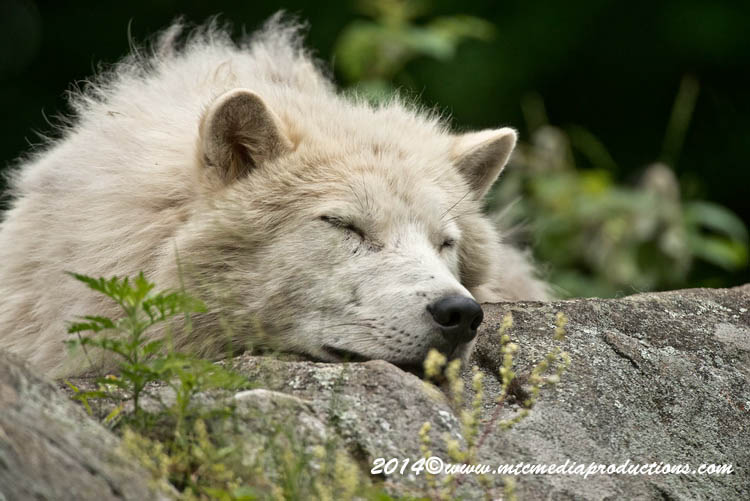 Arctic Wolf Picture-1189