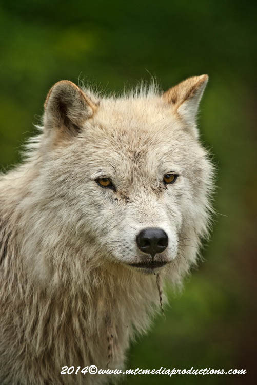 Arctic Wolf Picture-1190