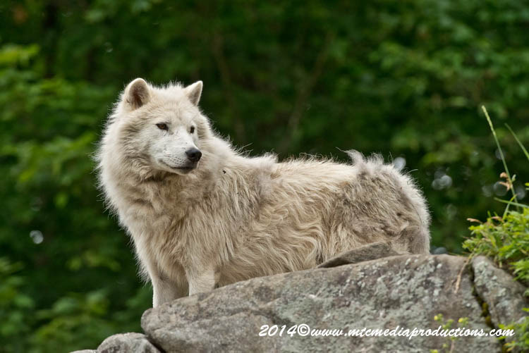 Arctic Wolf Picture-1191