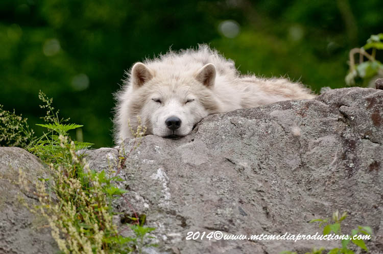 Arctic Wolf Picture-1193