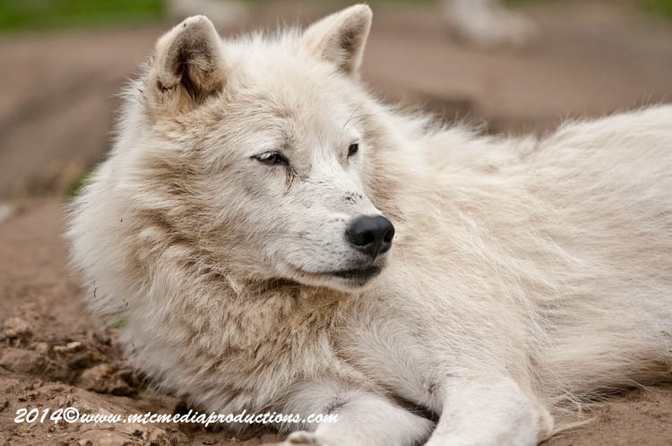 Arctic Wolf Picture-1194