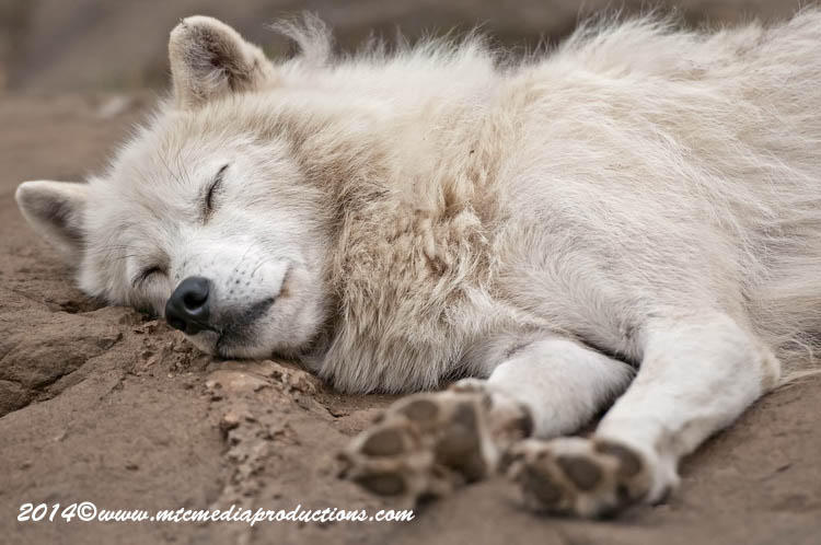 Arctic Wolf Picture-1195