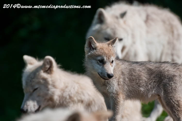 Arctic Wolf Picture-1197