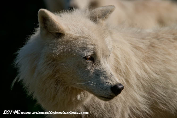 Arctic Wolf Picture-1198