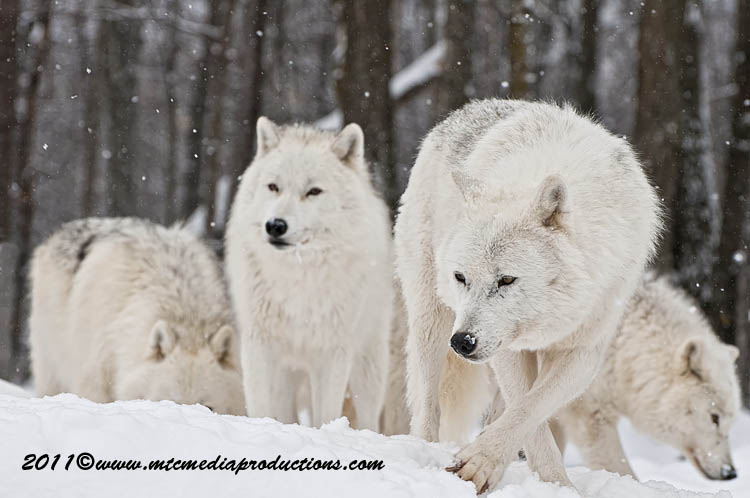 Arctic Wolf Picture-503