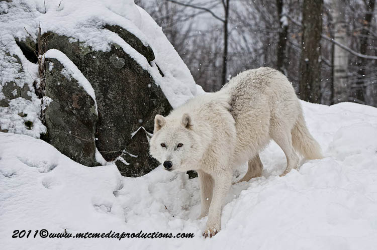 Arctic Wolf Picture-504