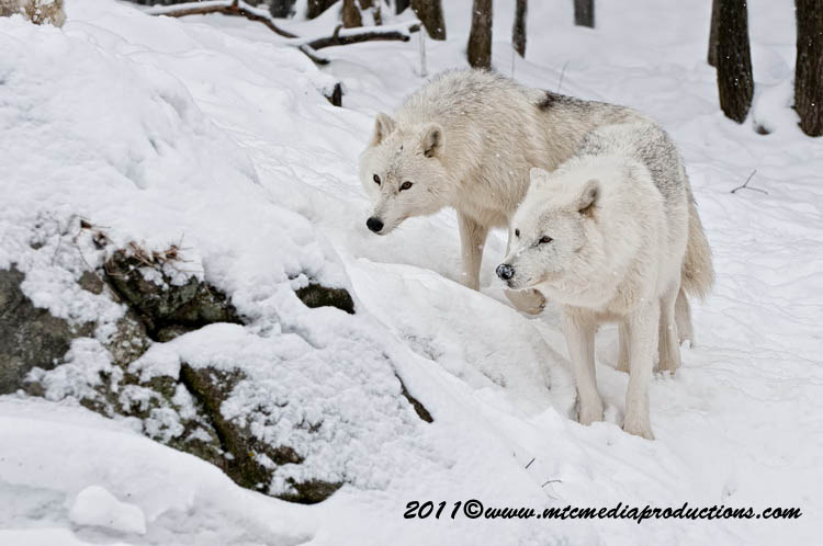 Arctic Wolf Picture-505