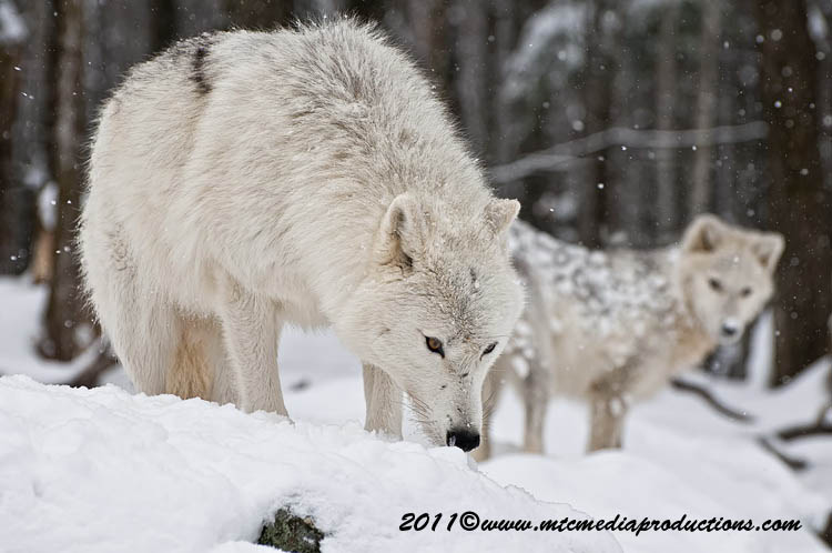 Arctic Wolf Picture-506