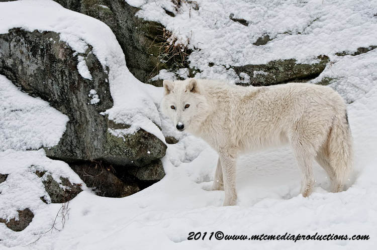 Arctic Wolf Picture-507