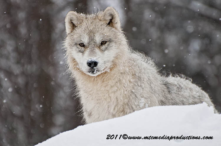 Arctic Wolf Picture-508