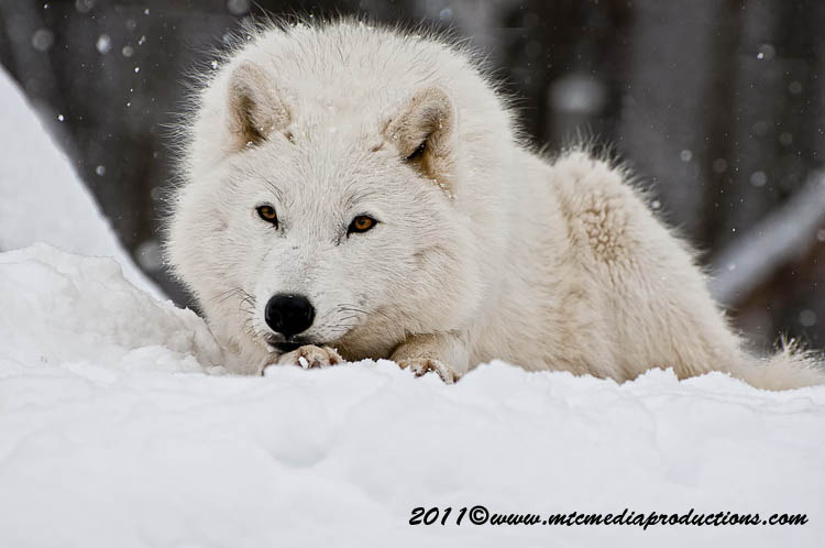 Arctic Wolf Picture-509