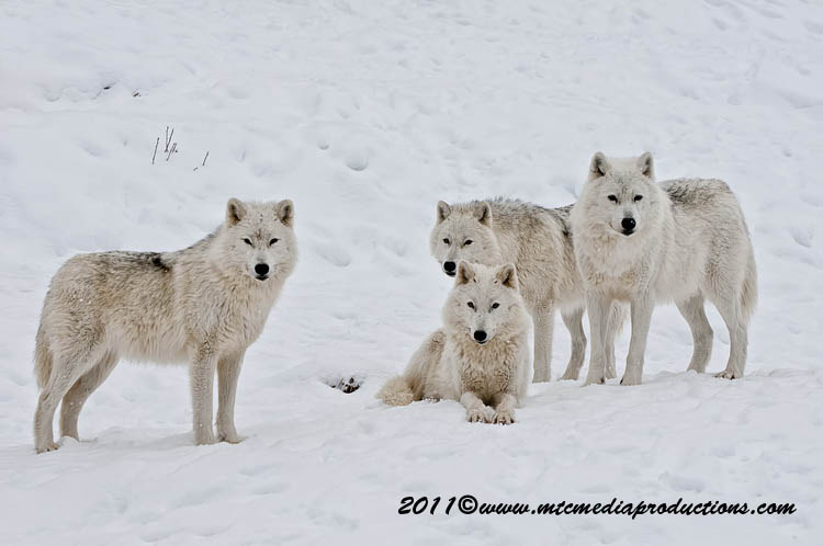 Arctic Wolf Picture-510