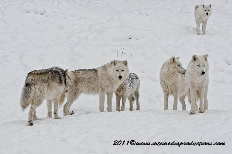 Arctic Wolf Picture-511