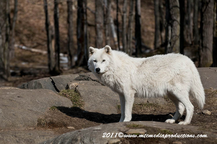 Arctic Wolf Picture-512