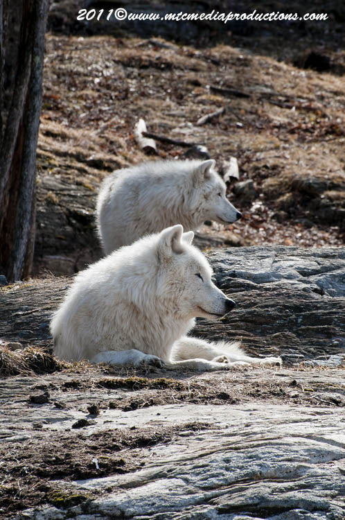 Arctic Wolf Picture-513