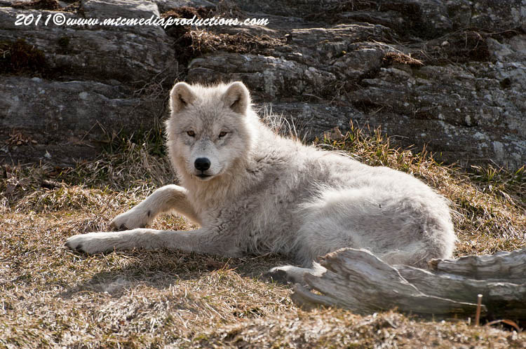 Arctic Wolf Picture-514