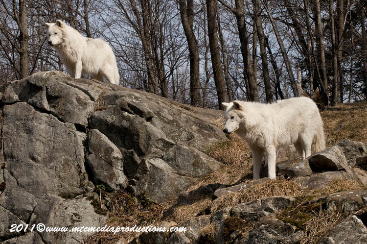 Arctic Wolf Picture-515