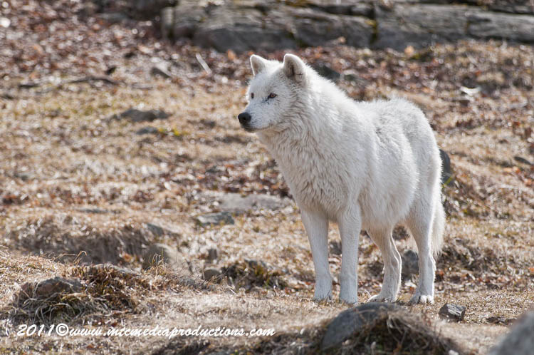Arctic Wolf Picture-516