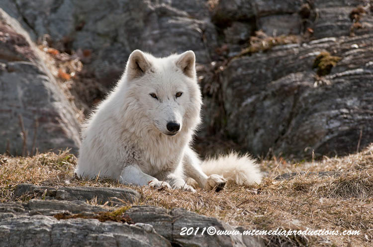 Arctic Wolf Picture-517