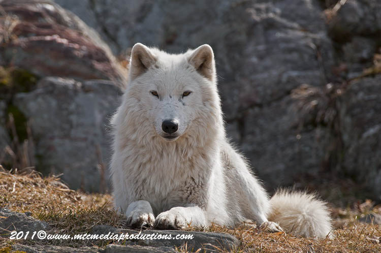Arctic Wolf Picture-518