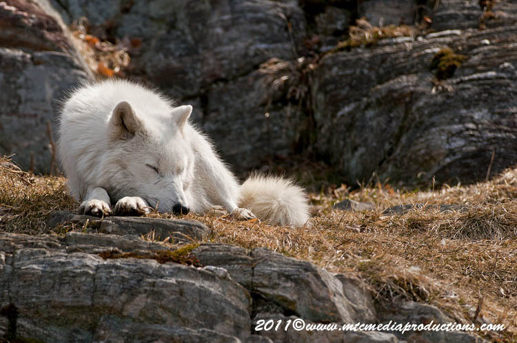 Arctic Wolf Picture-519