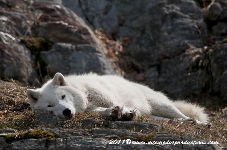 Arctic Wolf Picture-520