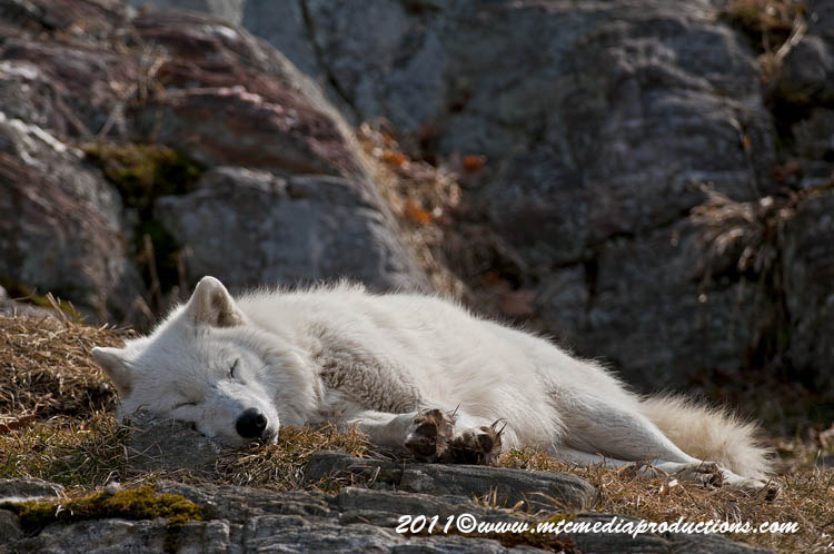 Arctic Wolf Picture-521